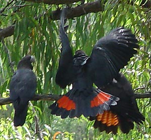 Three Glossy Black Cockatoos on branch