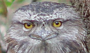 Juvenile Tawny Frogmouth looks directly at camera