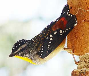 Speckled pardelote